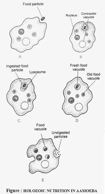 Nutrition In Amoeba Biology