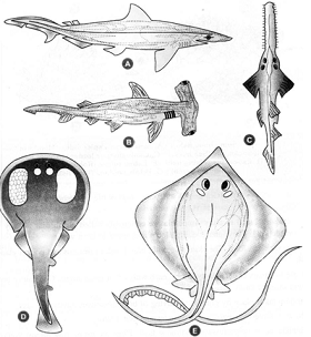 Pisces biology for Cartilaginous fish examples